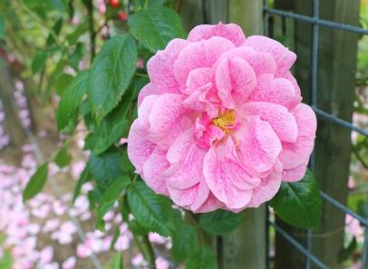 Belfast Rose Week pink