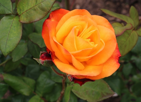 Belfast Rose Week orange