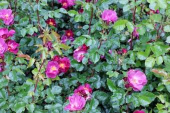 Belfast Rose Week purple