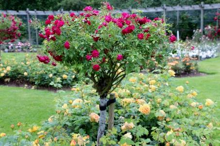 Belfast Rose Week bush