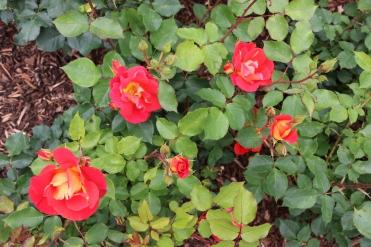 Belfast Rose Week red